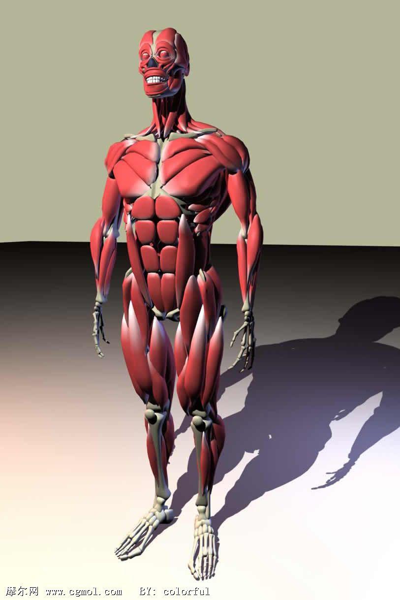 3d肌肉骨骼模型,基础人体