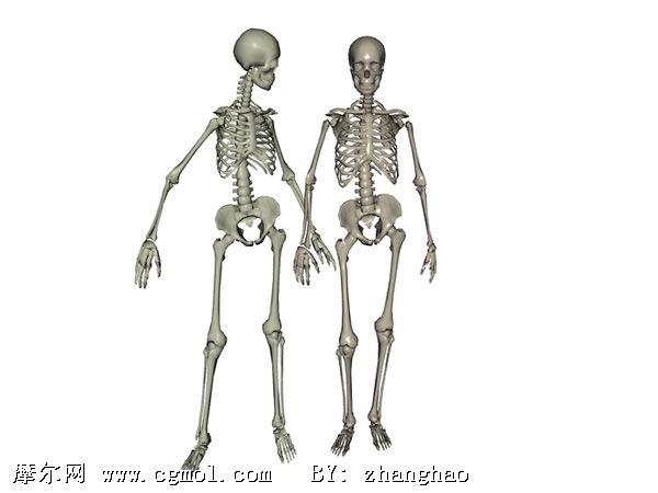 3d男女骨骼模型