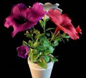 植物盆栽之-鲜艳的花朵
