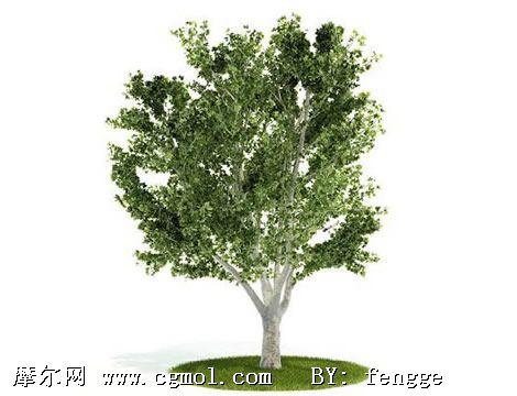 法国梧桐树简笔画_法国梧桐树图片