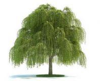 柳树3D模型