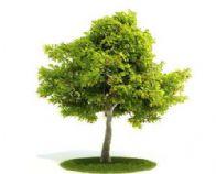 梧桐树,泡桐树3D模型