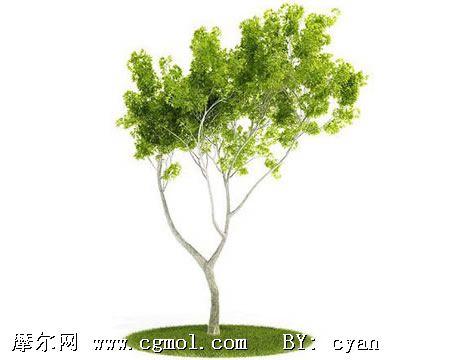 白桦树3d模型,树木模型,植物模型,3d模型免费下载,cg