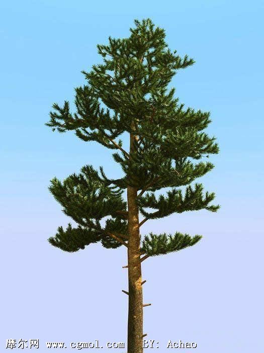 松树3d模型;; 松树的种类图片大全