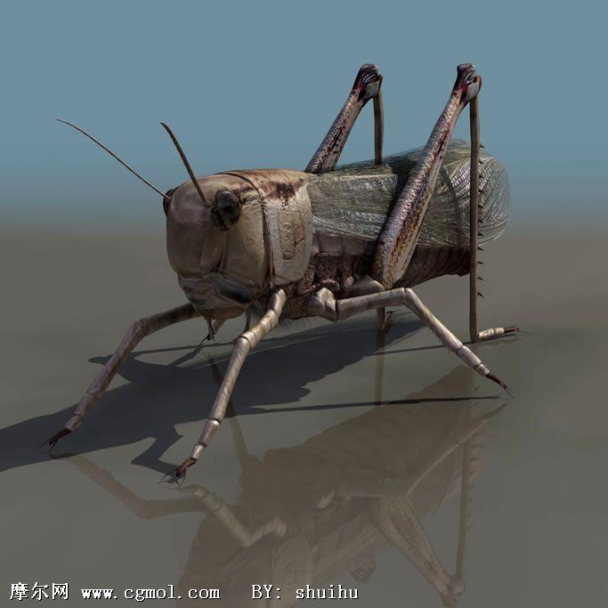 蝗虫3d模型,昆虫,动物模型