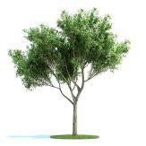 高精细爆竹柳,柳树3D模型