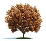 高精细红叶树,枫树3D模型