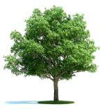 高精细夏栎树3D模型