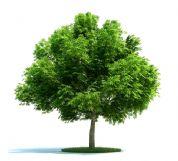 高精细七叶树3D模型