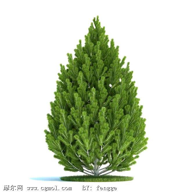 松树的种类 及图片