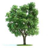 高精细榆树3D模型