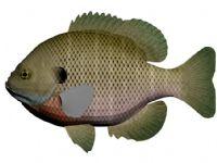 美国蓝鳃太阳鱼3D模型