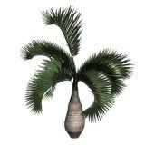 Hyophorbe lagenicaulis 酒瓶椰子树3D模型