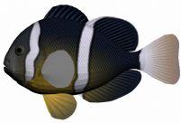 白条海葵鱼3D模型