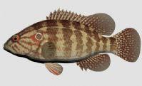 石斑鱼3D模型