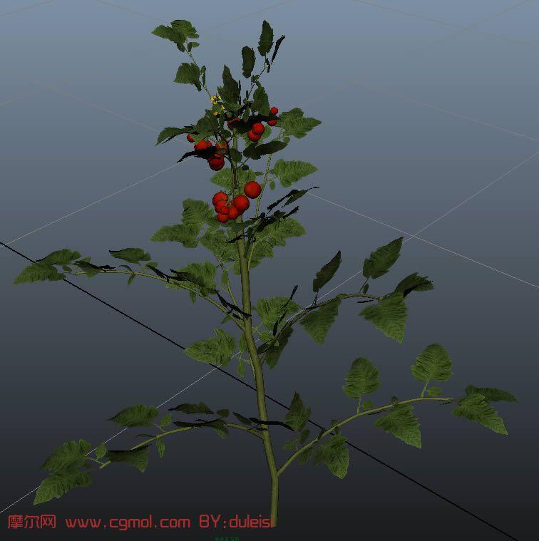 圣女果,小西红柿,maya模型