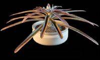 植物盆栽之睡莲3D模型