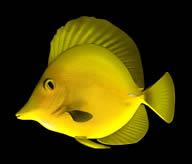 深海鱼,黄鱼3D模型