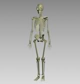 人体骨骼,骨架3D模型