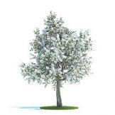 开花的梨树3D模型