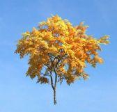 金黄色树叶的树3D模型