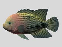 红头鱼3d模型