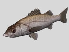 黑鲈鱼3d模型