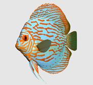 红松石七彩神仙鱼3d模型