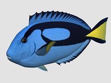 蓝唐王鱼3d模型