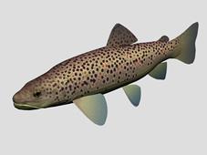 褐鲑鱼,棕鳟鱼3d模型