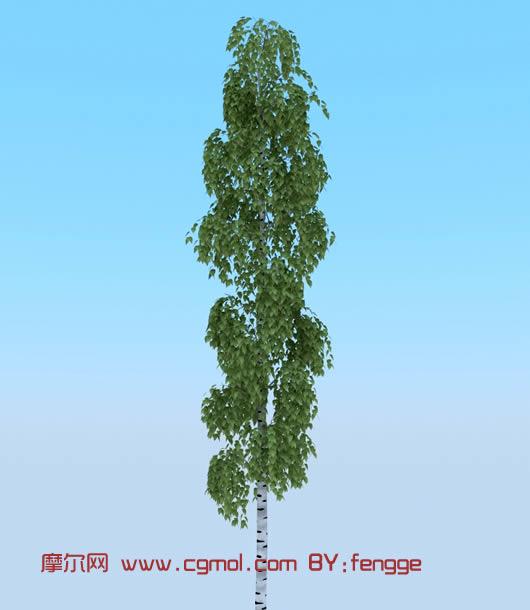 澳大利亚小叶桉树