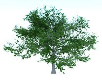 杨树3d模型