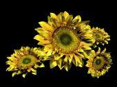 向日葵,太阳花maya模型