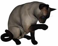 暹罗猫,西母猫,泰国猫,短毛猫3D模型