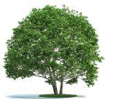 枝叶茂盛的树木3D模型