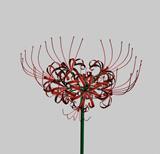 彼岸花,花朵3D模型