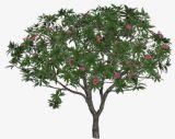罕见的红鸡蛋花树,植物3D模型