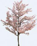 甜樱桃树,樱花树3D模型