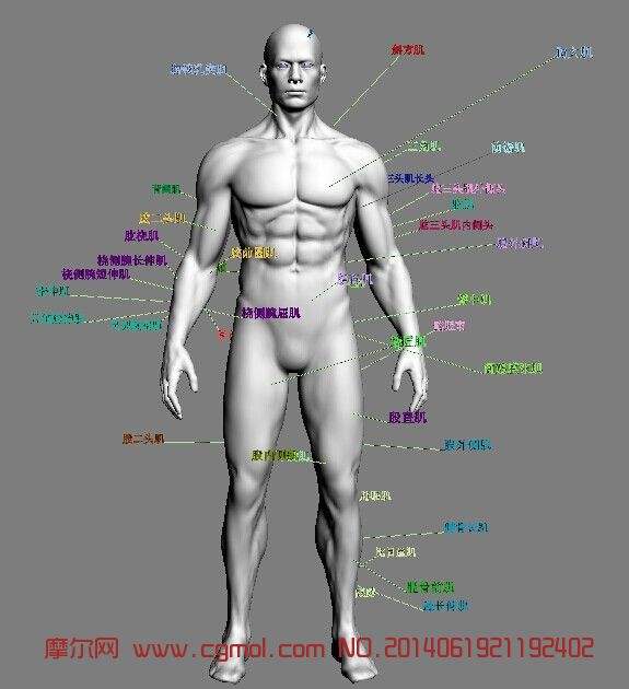 罕见max人体教材 标准男人体图片