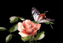 玫瑰与蝴蝶,max动画