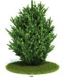 灌木树模型