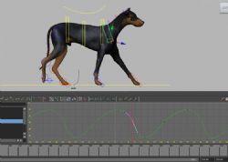 多伯曼短尾狗,杜宾犬,有绑定
