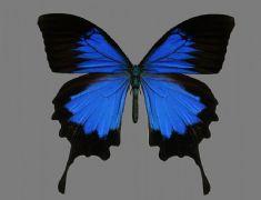 蓝色蝴蝶,有贴图