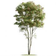 合欢树,红果冬青树3D模型(obj,max,fbx等格式)