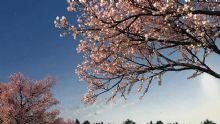 春天樱花盛开场景带动画3D模型