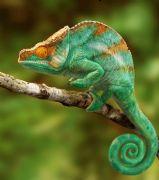 高精度写实变色龙3D模型