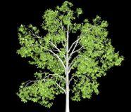 白蜡树3D模型