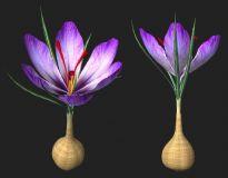西红花-植物