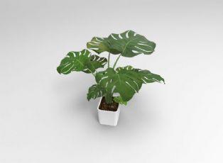 植物―龟背竹