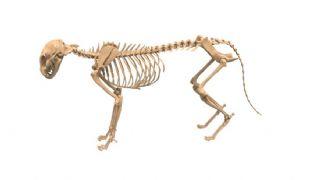 狗的骨骼模型